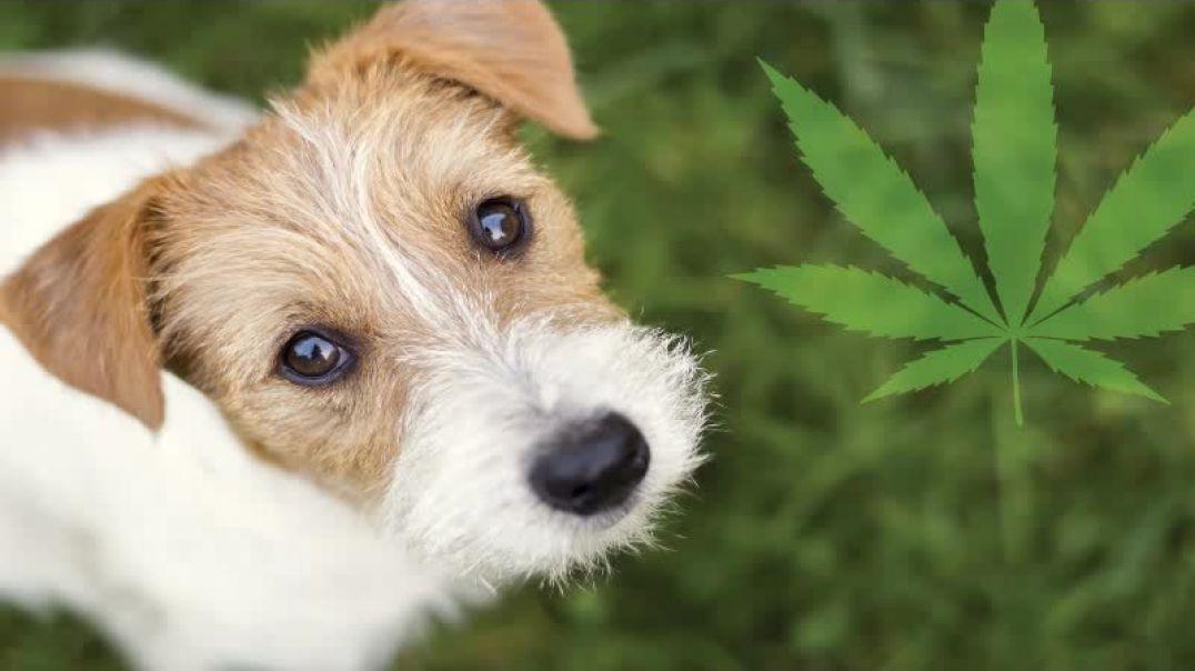 Buy Dog Treats CBD Online