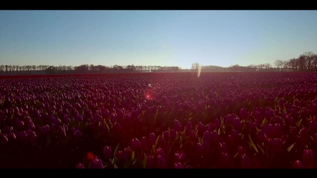 Tulips in Holland - Flower Power of the Netherlands - Noordoostpolder - Unique places in Holland